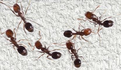 Muerdago - Hormigas