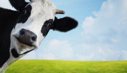 vaca 800x400 415x240 - Alumnos de secundaria producen biogás con excretas de vaca