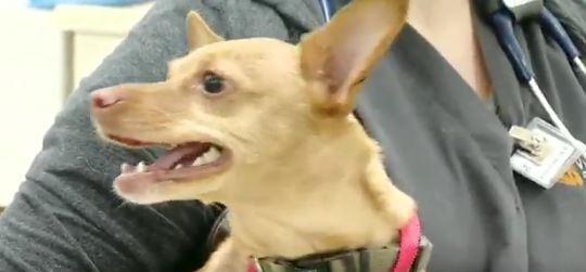 Captura - Un perro chihuahua y su dueño se van de borrachos