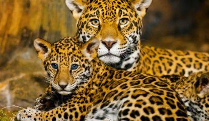 jaguar 800x400 415x240 - Jaguares en la Selva, lucha por preservar la especie mexicana