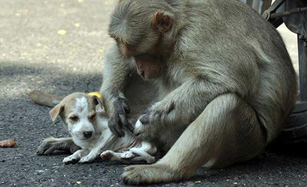 Mono adopta a cachorro
