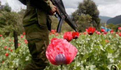 Guerrero Amapola 800x400 415x240 - Crece cada año el cultivo de amapola en México: InSight Crime